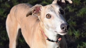 Welfare Code of Practice for racing greyhounds